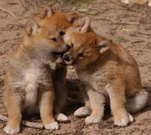 dingo-puppies-playing